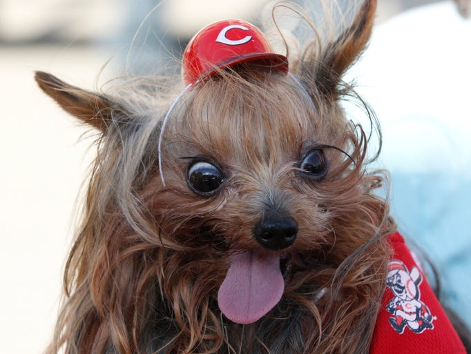 Domilise appears crazy about the Reds during the Bark in the Park event held at Great American Ball Park before the start of the Cincinnati Reds/San Diego Padres gameTuesday May 13, 2014. She belongs to Linda Martin of Franklin, Ohio.