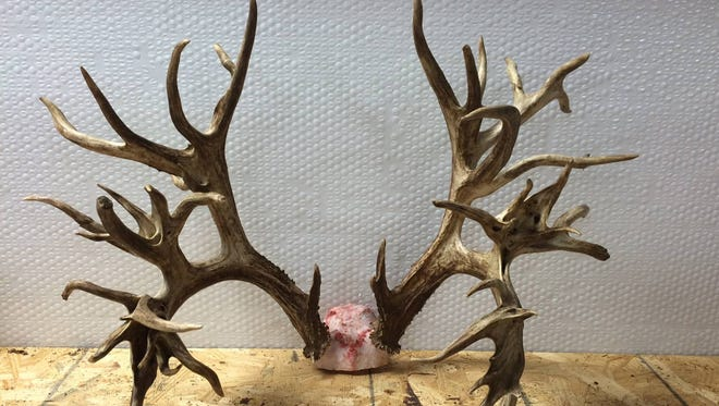 The antlers from a potential world-record whitetail deer killed in Tennessee on Nov. 7, 2016, could be worth $100,000. The antlers have to undergo a 60-day drying out period before they can be measured.