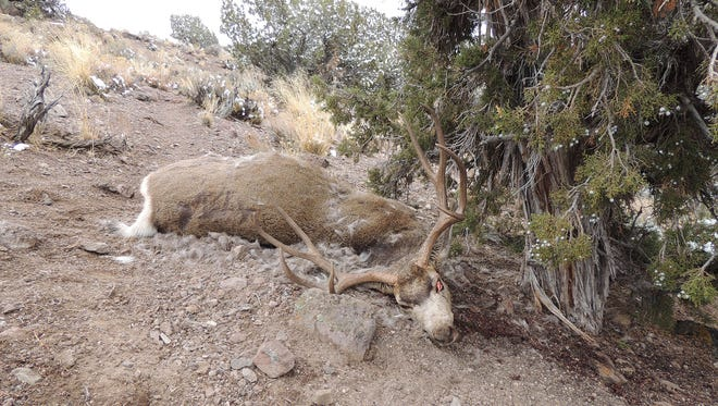This trophy buck was found illegally killed and left to waste on Nov. 28 in hunt unit 231 near Pioche in Lincoln County. Nevada Department of Wildlife is offering a $1,000 reward for help catching the shooter. The number to call is (800)992-3030.