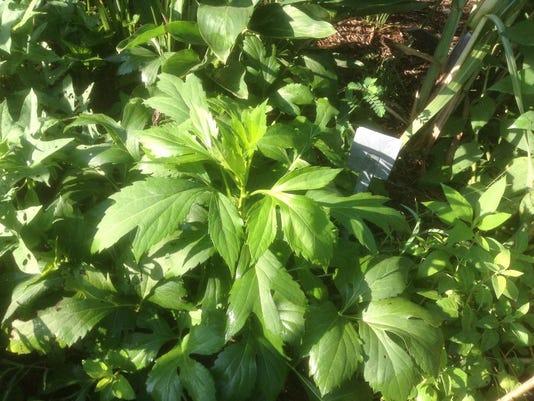 Rudbeckia-Laciniata-–-Cherokee-Greens