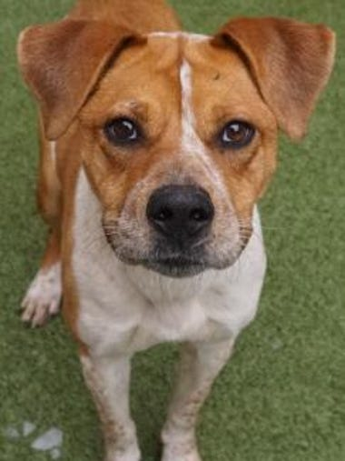 Debbie is a playful 1-year-old boxer/shepherd mix.