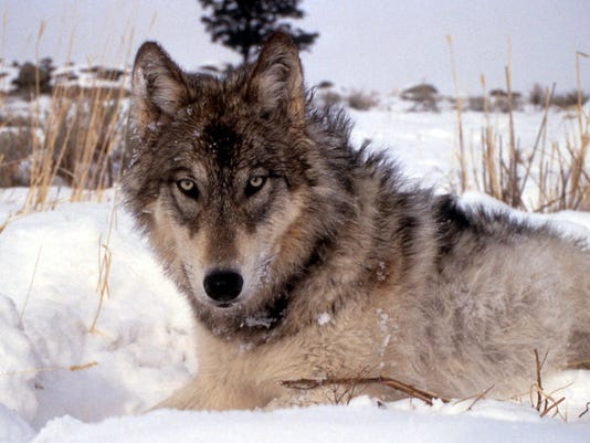 -Gray Wolves.jpg_20110504.jpg
