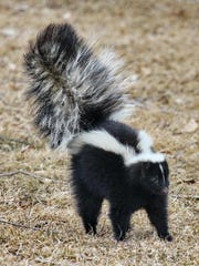 Skunk stink comes from a family of sulfur molecules