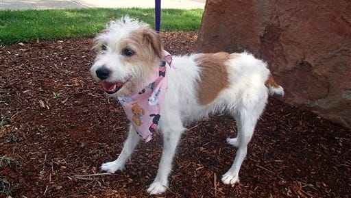 This Sept. 15, 2014 photo provided by Washington County, Ore., Animal Services in Hillsboro, Ore., shows a Jack Russell terrier named Gidget. The 7-year-old dog who went missing from her Pennsylvania home outside of Philadelphia on April 22 has turned up at an animal shelter nearly 3,000 miles away. Deborah Wood of the County's Bonnie Hays Animal Shelter says a good Samaritan found Gidget this month in Tualatin, Oregon. A microchip implanted in Gidget revealed her owner and hometown. Wood says Gidget was a little thin, but otherwise in good condition. It's a mystery how the dog ended up in Oregon. The shelter and the owner are trying to figure out how to get the dog back to Pennsylvania.