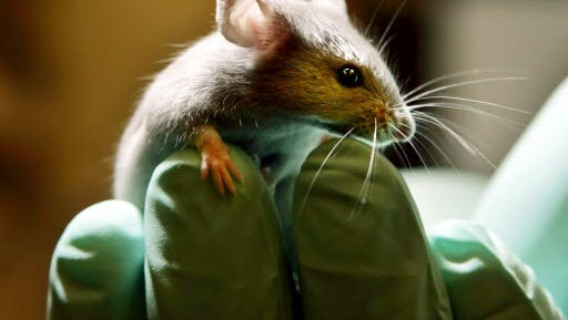 An animals right group has called upon IU School of Medicine to launch an investigation and terminate staff in the wake of 17 incidents in lab research that killed 116 mice and rats.