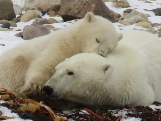 A mother polar bear and cub lie on the tundra in Manitoba, Canada.