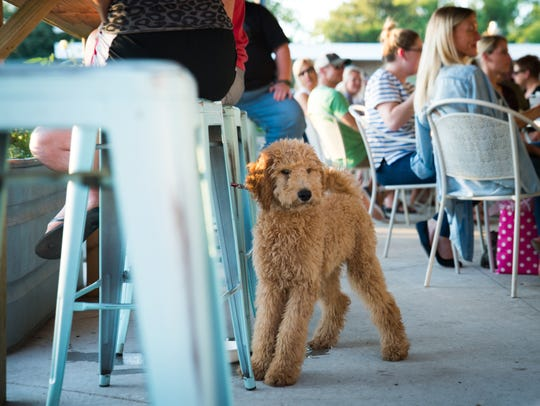 Avicii, a four-month-old Goldendoodle owned by Steven