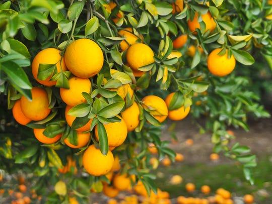 Oranges contain Vitamin C, which bind to free radicals,