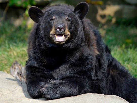 North American black bear Migwan have left the Detroit