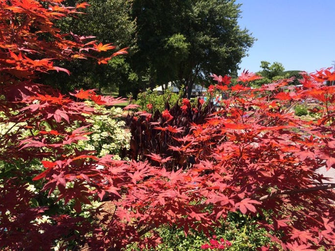 A Japanese maple, foreground, frames cannas behind it.