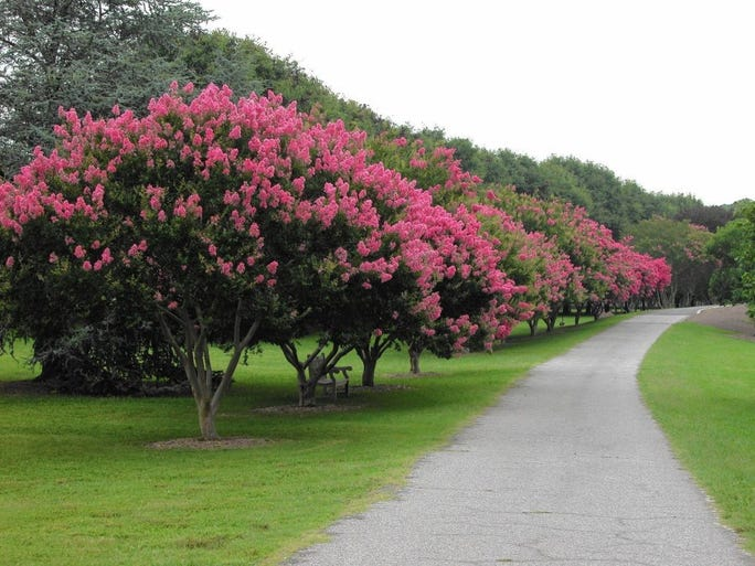 A hedgerow of crape myrtles is a dramatic mid-summer display.