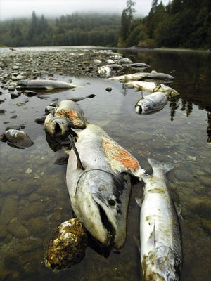 This Sept,. 28, 2002 file photo shows dead salmon lining the banks of the Klamath River near the mouth of the river in Klamath, Calif.