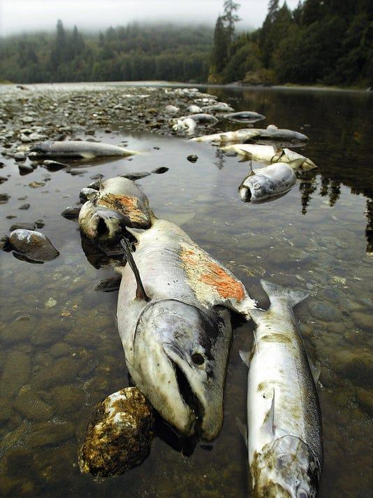 Klamath Salmon