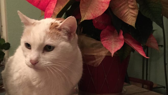 Pets are curious about plants, including poinsettia plants. If you have a plant-chewing pet, you need to limit their access to holiday plants.