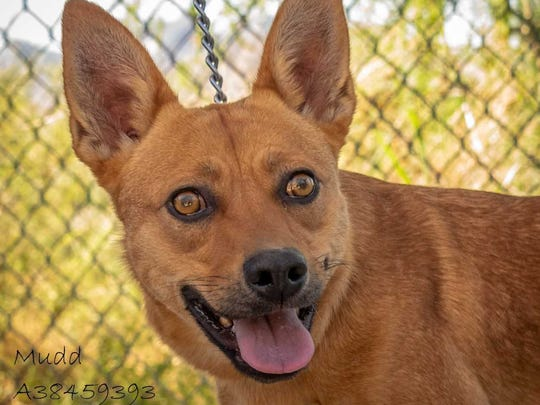Mudd - Female (spayed) heeler mix, about 1 year old. Intake date: 5-1-2018
