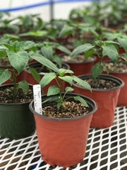 Hometown Roots isn't supposed to open until this summer, but green pepper plants  for the restaurant are already growing in greenhouses in Robards.