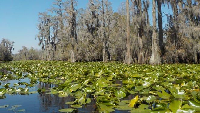 Water lilies grow abundantly in Okefenokee Swamp.