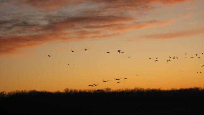 A sandhill crane migration is spotted in the Jasper-Pulaski Fish and Wildlife Area in Medaryville, Ind., in 2009.