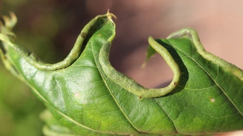 By looking for this oak margin gall on your oak trees in spring and summer, you may be able to predict if this fall will be a bad year for the oak leaf itch mite.