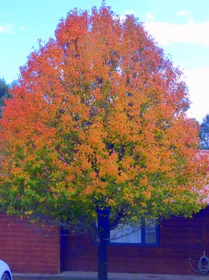 A mixed palette of nature's colors decorates a tree in Ruidoso.