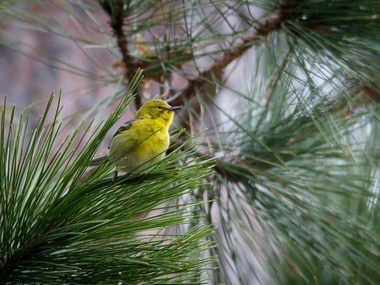 NLDC - Pine Warbler - Azael Meza.jpg