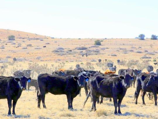 Herds of cattle roamed the prairie.