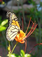Monarch butterfly sipping nectar from a dwarf poinciana.