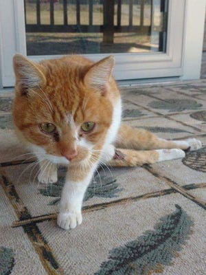 Val, the cat, was found dragging his back egs and had a severe case of road rash on his hind quarters.
