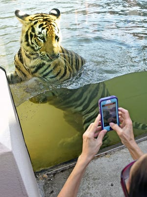 Bill Feig, The Advocate/AP LSU?s Mike VII tiger mascot checks out his habitat on Monday in Baton Rouge. LSU's new Mike VII tiger mascot checks out his new habitat upon being formally announced as the new mascot, Monday, Aug. 21, 2017 in Baton Rouge, La.. The 11-month-old tiger was quarantined for several days so LSU veterinarians could observe the animal in its new home. It replaces a tiger that died in October following months of treatment for a rare form of cancer. (Bill Feig/The Advocate via AP)