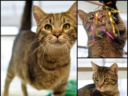 Frank, a three-legged domestic short hair cat, is one of nearly 1,500 animals sheltered by the Animal Rescue League of Iowa.