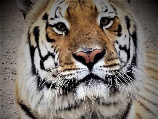 636410783789061684-Spike-the-Tiger.jpg