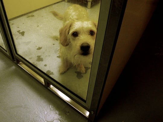 An adoptable dog looks out of its kennel at Caddo Animal Services.