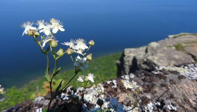 The exquisite flowers of three-toothed cinquefoil cling to cliffs high above Lake Superior in Sleeping Giant Provincial Park. These are truly higher plants.