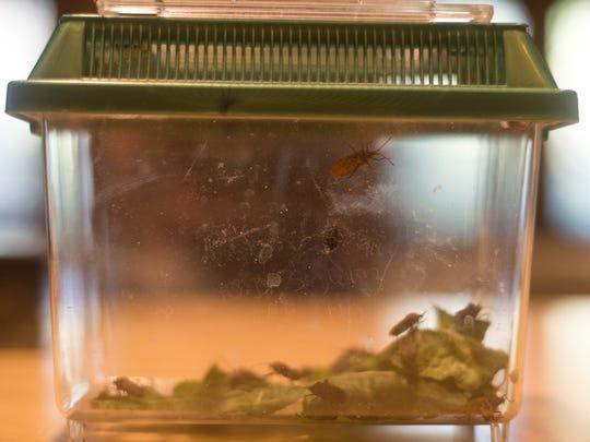 Stink bugs and squash bugs crawl around inside a terrarium.