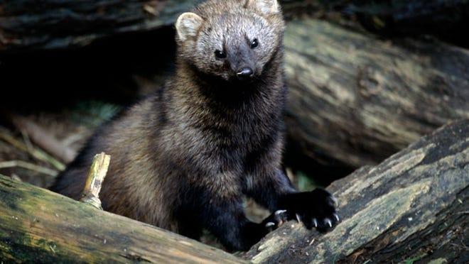 The fisher looks cute and cuddly, but they're a tough critter that's not to be messed with.