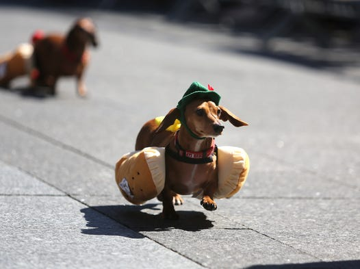 also 16029223 together with 15723267 in addition 15723267 in addition 16029223. on weiner dog races cincinnati