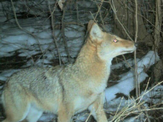 636603760950002103-WILBrd-04-05-2015-Daily-1-A005-2015-04-04-IMG-COYOTE-at-bait-stati-1-1-QMAD8R2A-L590405250-IMG-COYOTE-at-bait-stati-1-1-QMAD8R2A.jpg