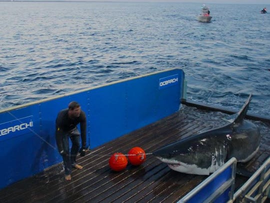 The world-famous Mary Lee is tagged before being released.