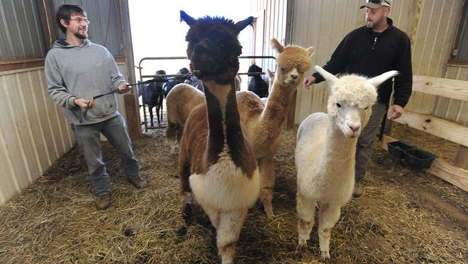 Farm manager Stacy Wilson, right, and Ryan Wooton help care for a herd of alpacas at Echo View Farm in Weaverville in 2011.