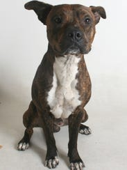Russ is a 2-year-old, male white and brindle boxer.
