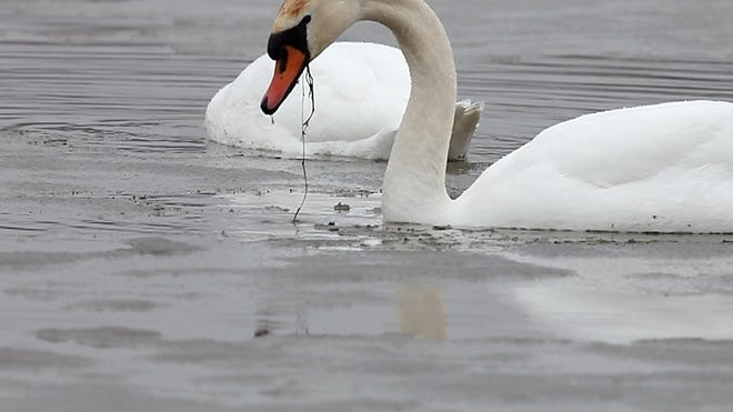 An adult mute swan eats up to 8 pounds of aquatic vegetation a day and destroys more of it in the process.