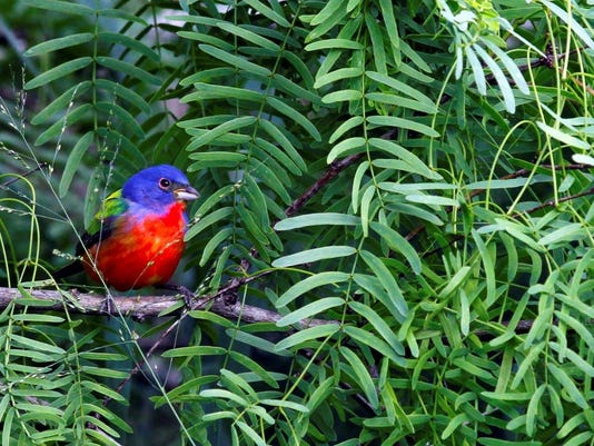 Male-Painted-Bunting.jpg