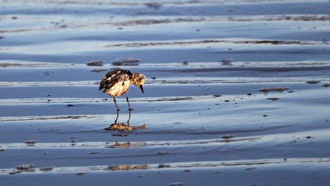 Wildlife officials are planning to capture oiled birds on area beaches in the coming days.