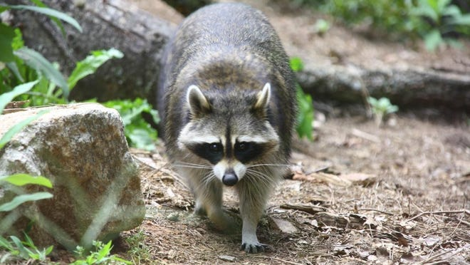 A raccoon attacked three dogs in Henderson County.