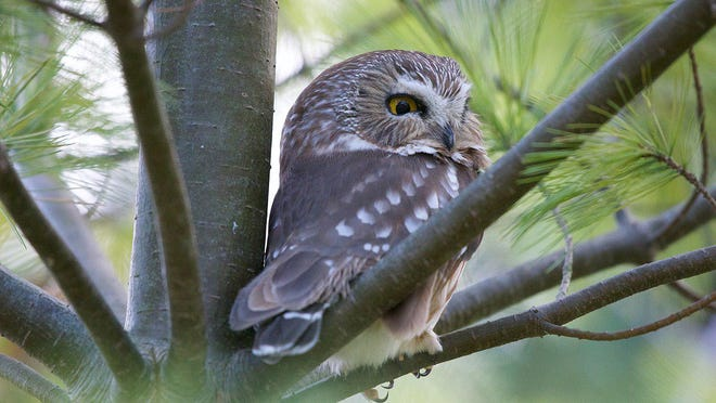 "Its smallness, those eyes, a brown back with white spots and a white ""y"" between the eyes distinguish the Northern saw-whet owl."
