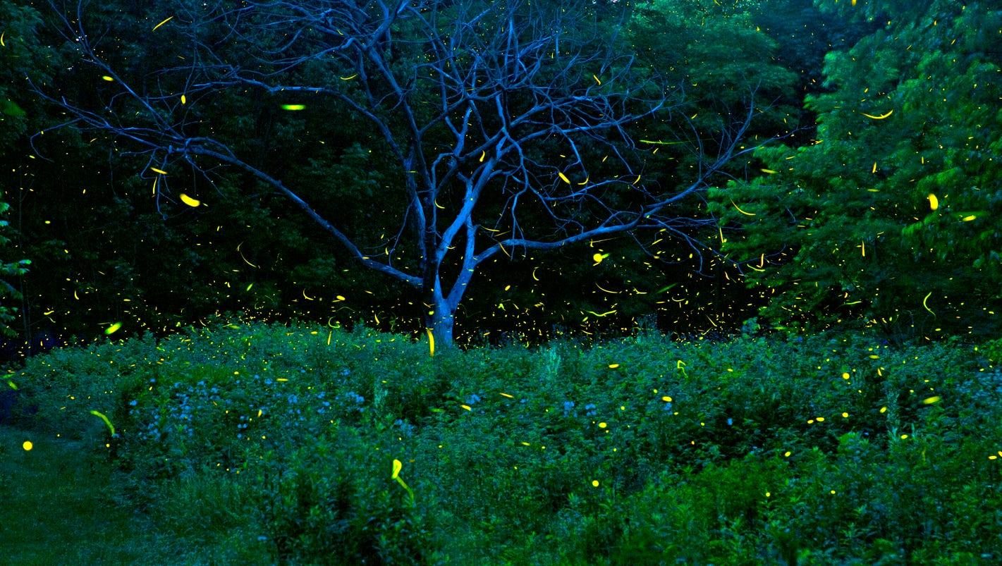 Huge summer for fireflies means backyard fireworks for us ...