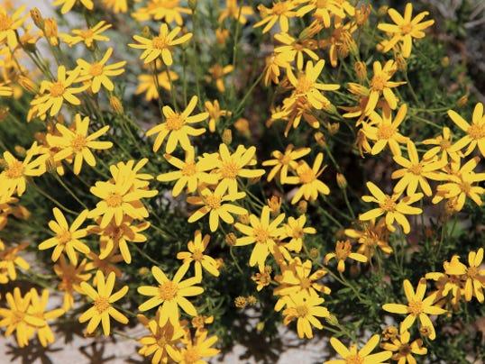 RUBEN R RAMIREZ—EL PASO TIMES UTEP Centennial Museum will have its   annual FloraFest plant sale April 25-26.