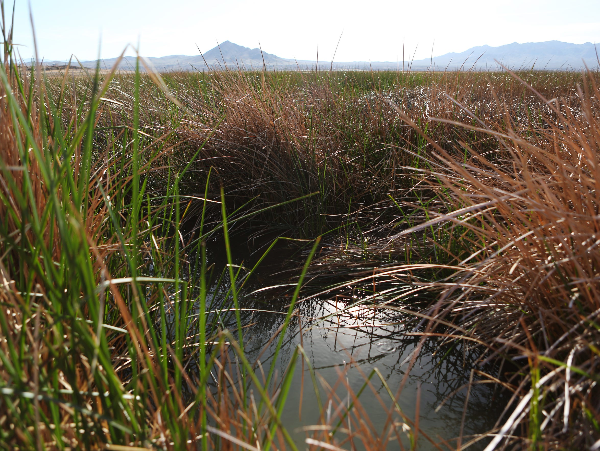 Tecopa Marsh is one of the remaining habitats of the