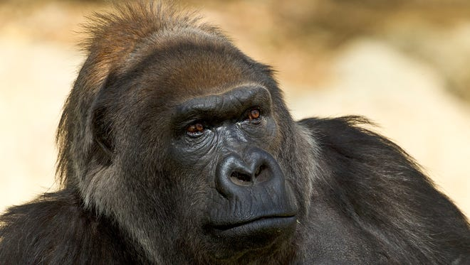 This undated photo provided by the San Diego Zoo Safari Park shows Vila, an African gorilla. Considered to be one of the world's oldest gorillas, Vila died Thursday, Jan. 25, 2018 at the park in Escondido, Calif. The park says Vila, who turned 60 last October, died surrounded by members of her family troop. Authorities say she was the matriarch of five generations of gorillas and during her life served as a surrogate mother for several western lowland gorillas.