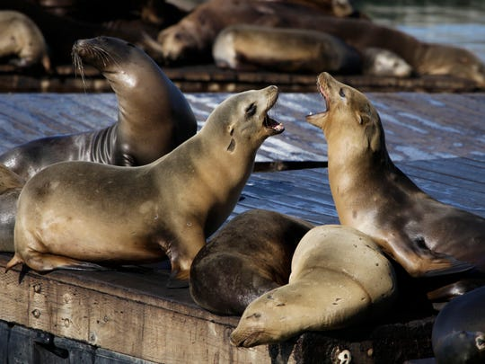 In this Oct. 15, 2010, file photo, sea lions bark at each other at Pier 39 in San Francisco.